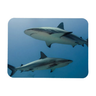 Caribbean Reef Shark Magnet
