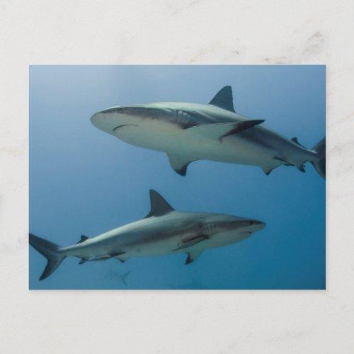 Caribbean Reef Shark Postcard
