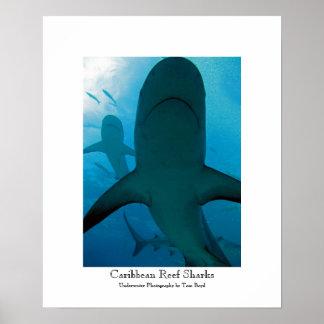 Caribbean Reef Sharks Poster