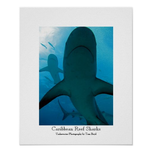 Caribbean Reef Sharks Poster