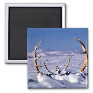 Caribou antlers in the snow fridge magnet