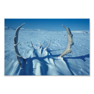 Caribou Antlers in the Snow Poster