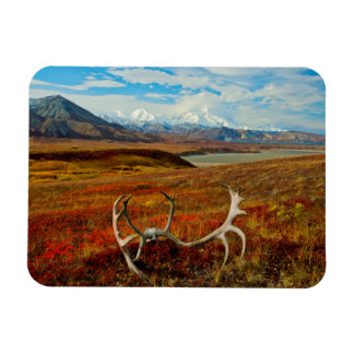 Caribou Antlers On The Alaskan Tundra Rectangular Photo Magnet