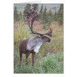 Caribou in Alaska Cards