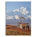 caribou, Rangifer tarandus, bull in fall colors Notebook