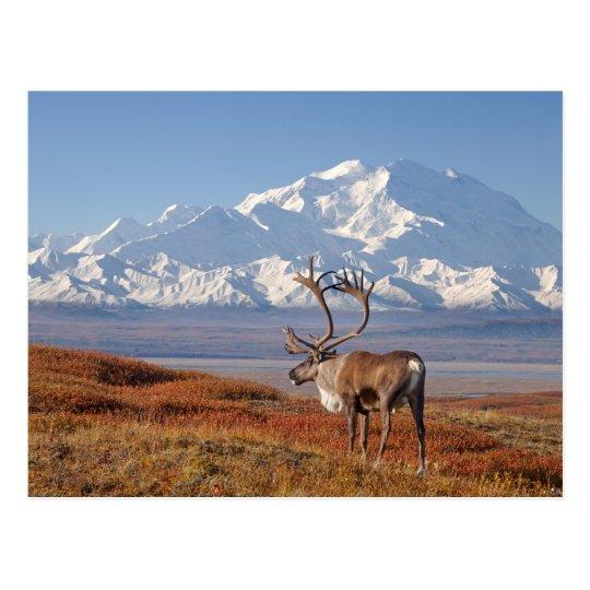caribou, Rangifer tarandus, bull in fall colors Postcard