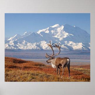 caribou, Rangifer tarandus, bull in fall colors Poster