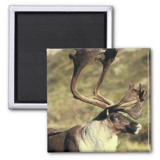 Caribou / Reindeer 2 Inch Square Magnet