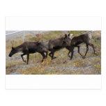 Caribou Trot Postcard