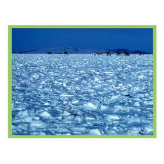 Caribú que cruza la tundra nevosa tarjetas postales