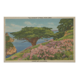 "Carmel Bay, CA - View of ""Old Veteran"" Tree Poster"