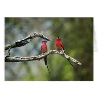 Carmine bee-eaters greeting card
