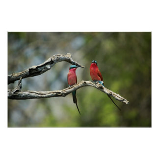 Carmine bee-eaters poster