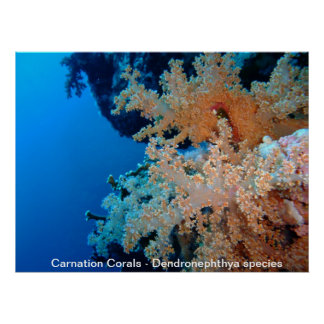 Carnation Corals Poster