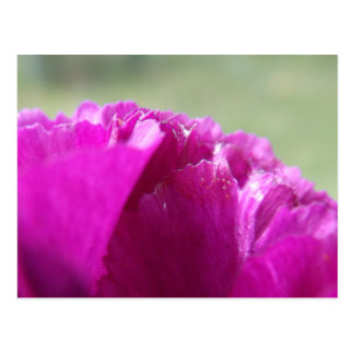 Carnation Petals Postcard