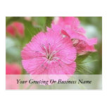 Carnation Pink Sweet Williams Post Card