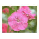 Carnation Pink Sweet Williams Post Cards