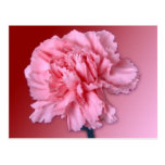 Carnation Post Card