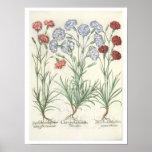 Carnations: 1.Caryophyllus multiplex flore albo; 2 Print