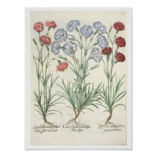 Carnations: 1.Caryophyllus multiplex flore albo; 2 Poster