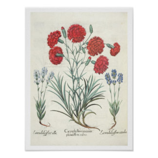 Carnations and Lavender: 1.Caryophyllus maximus pl Poster