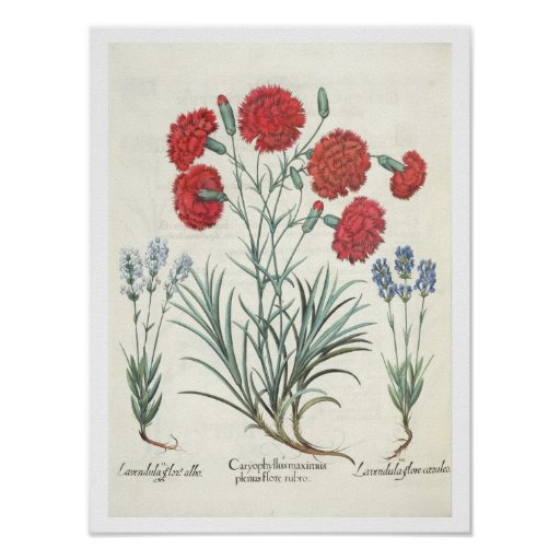 Carnations and Lavender: 1.Caryophyllus maximus pl Posters