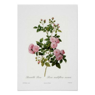 Carnea del multiflora de Rosa (zarza subió) Poster