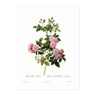 Carnea del multiflora de Rosa (zarza subió) Postales
