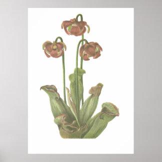 Carnivorous Plant - Sarracenia purpurea Poster