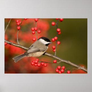 Carolina Chickadee on Common Winterberry bush Posters