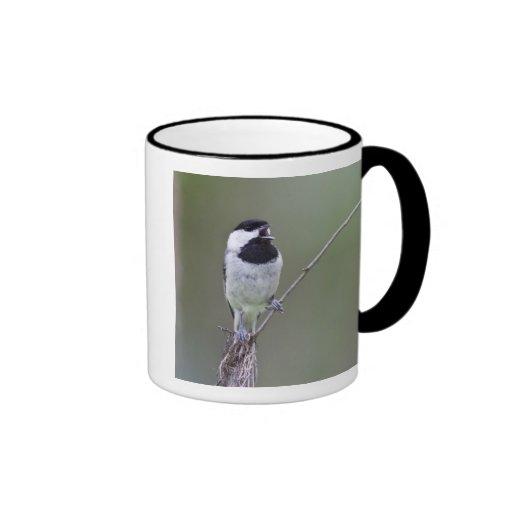 Carolina chickadee singing mugs