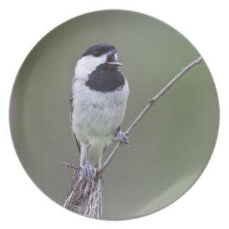 Carolina chickadee singing dinner plates