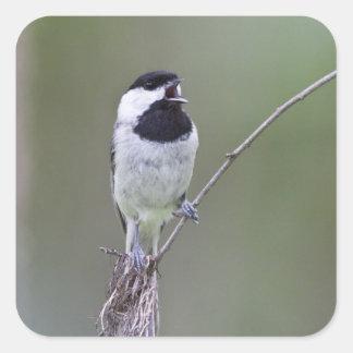 Carolina chickadee singing square sticker