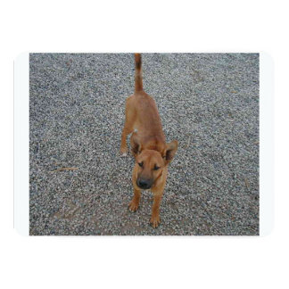 Carolina dog full.png card