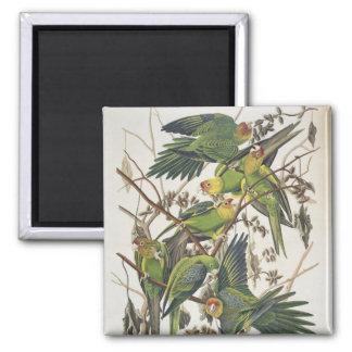 Carolina Parakeet, from 'Birds of America', 1829 2 Inch Square Magnet