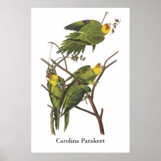Carolina Parakeet, John Audubon Poster