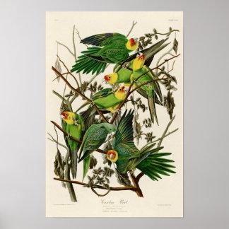 Carolina Parrot John Audubon Birds of Ameria Poster