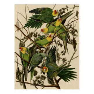 Carolina Parrot Postcard
