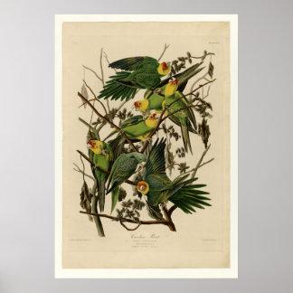 Carolina Parrot Posters
