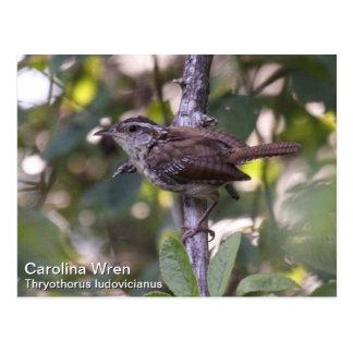Carolina Wren Postcard