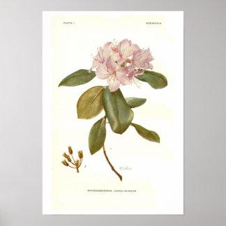 Carolinianum del rododendro posters
