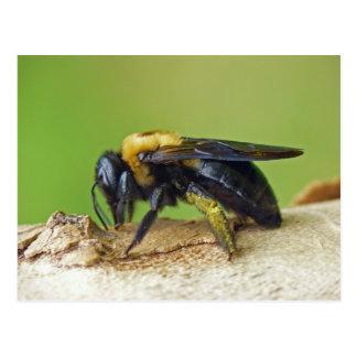 Carpenter Bee. Postcard