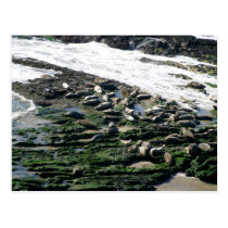 Carpinteria Seal Sanctuary Postcard
