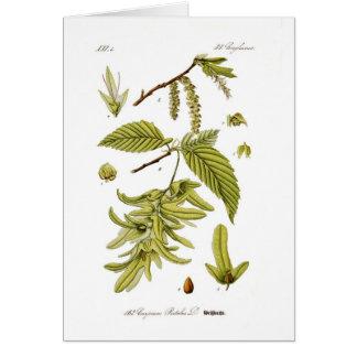 Carpinus betulus (European hornbeam) Card
