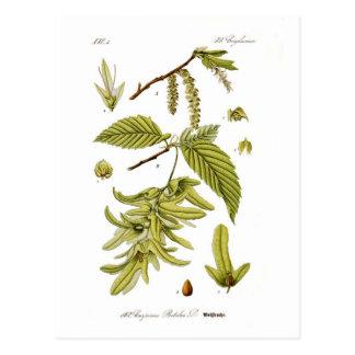 Carpinus betulus (European hornbeam) Postcard