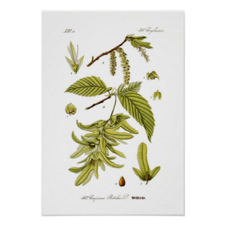 Carpinus Betulus (hornbeam europeo) Posters