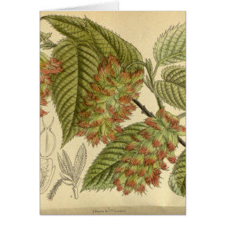 Carpinus japonica, Betulaceae Card