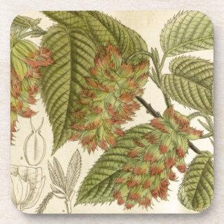 Carpinus japonica, Betulaceae Coaster