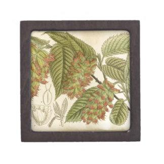 Carpinus japonica, Betulaceae Gift Box
