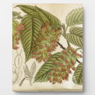 Carpinus japonica, Betulaceae Plaque